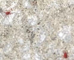赤い小さい虫